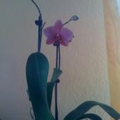 Drobny Falenopsis.