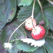 dzisiejsze truskawki, prosto z krzaczka najsmaczniejsze. Osłoda dnia, teraz u mnie leje.