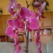 Falenopsis Bordo.