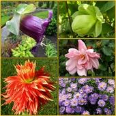 jeszcze kwitną-róże,dalie,kobea,marcinki