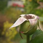 Kiedyś różą byłam...