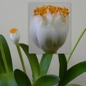 Krasnokwiat białokwiatowy
