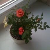 Mała róża doniczkowa.