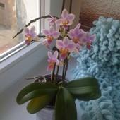 Miniaturowy Falenopsis.