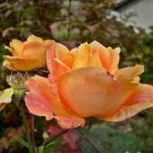 Niech ta różyczka Was ogrzeje...