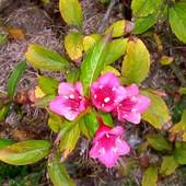 Ostatnie kwiatki krzewuszki