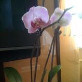 Różowa miniatura Falenopsisa.