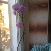 Różowy Falenopsis.