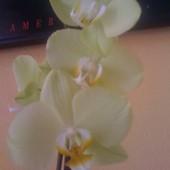 Zielonkawy Falenopsis.