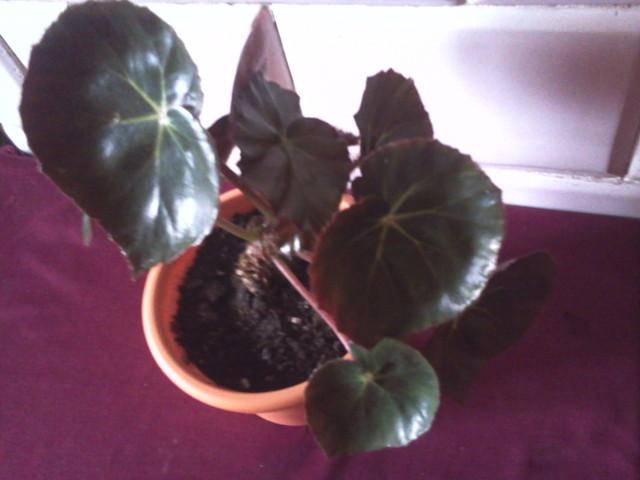 Begonia ( chyba królewska?)