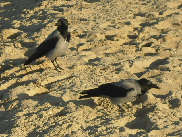 Wrony na plaży