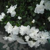 Biała jak śnieg-Azalia
