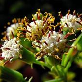 Kwiatuszki senecio