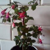 Kwitnąca fuksja