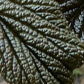 Młody liść rodgersji kasztanowcolistnej