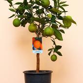 Pomarańcza Sinensis