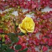 Róża w czerwonym winie