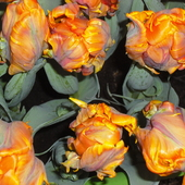 Tulipanowe papużki