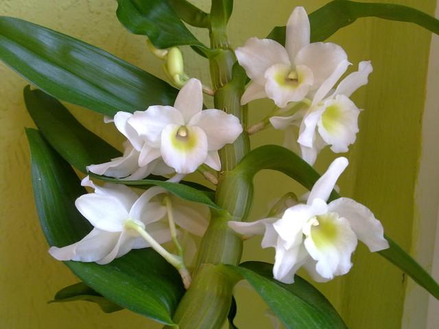 Storczyk Dendrobium Nobile.