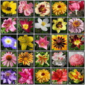 Kwiaty lata 2012      ,liliowce,powojnik,tulipany,
