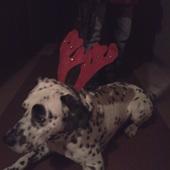Mój łaciaty reniferek życzy Wesołych Świąt .!