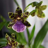 Zygopetalum James Strauss