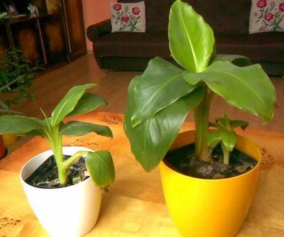 Bananowiec tropikalny