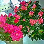 2 x Różanecznik (Azalia)