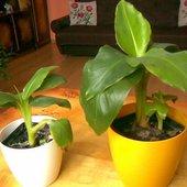 Bananowiec Tropikaln