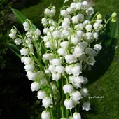 Białe dzwoneczki