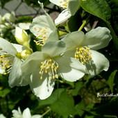 Białe kwiaty w ogrodzie.
