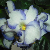 Białoniebiesko