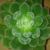 Eszeweria omszona (Echeveria setosa)