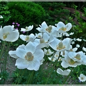 Gdy kwitną zawilce...