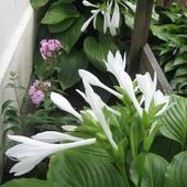 Hosta 'Royal Standard'...
