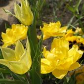 Już zakwitły tulipany, choć pochmurny ranek. Wyglądają tak psześlicznie, jak namalowane.