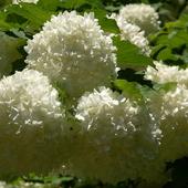 kalina koralowa, kwiat