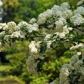 krzew wiosenny