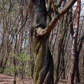 poskręcane drzewo