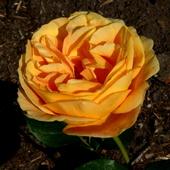 róża pomarańczowa