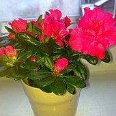 Różowa Azalia
