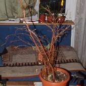 Znaleziony Ficus.