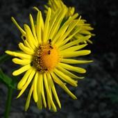 Żółtaczka Ma Wiel