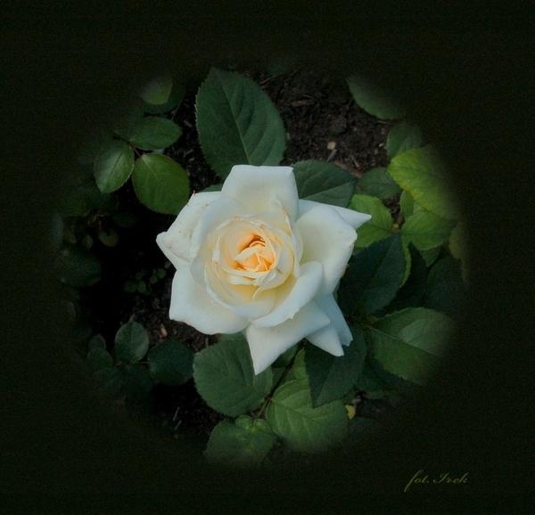 bała róża