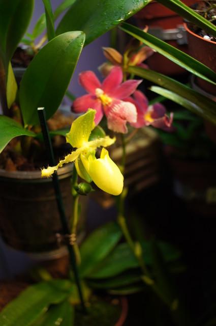 Paphiopedilum Primulinum