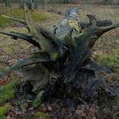 drzewo w puszczy