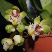 Gastrochilus japonicus (storczyk)