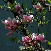 magnolia drzewiasta