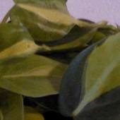 philodendron scandens variegata