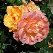 Róże dla moich przyjaciół